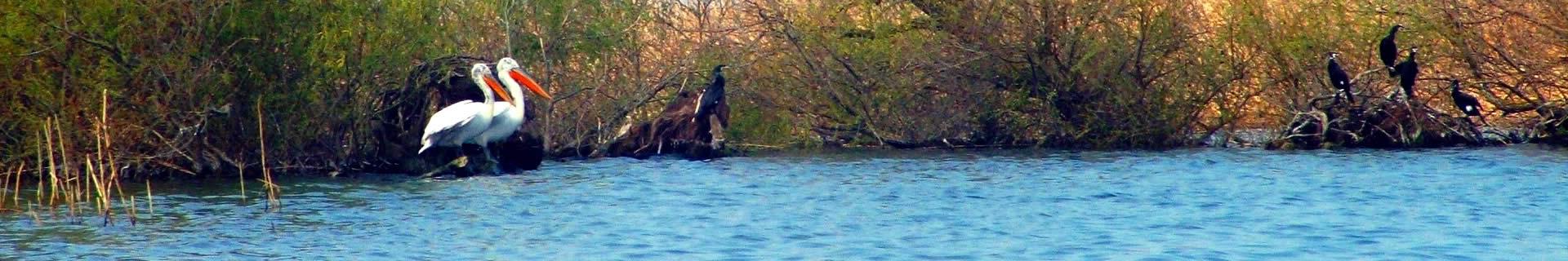 Storks in Delta