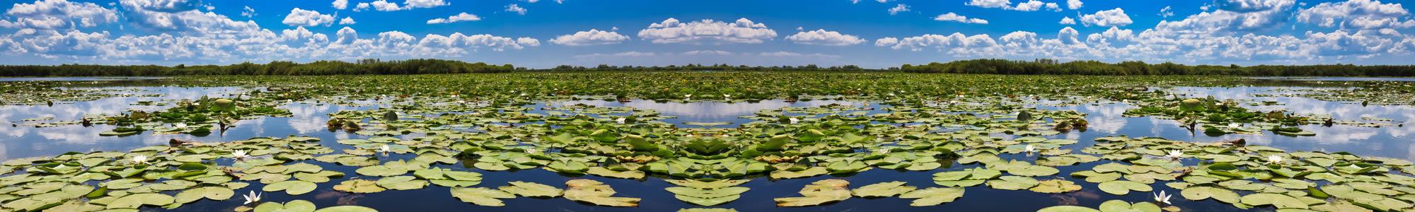 Water lilies in Danube Delta